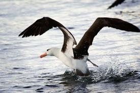 albatros-a-sourcils-noirs